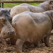 Les hippopotames de Pablo Escobar reconnus comme personnes légales aux États-Unis