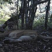 Brésil : le puma fait son retour à Rio de Janeiro