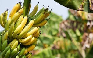 La «pointe d'or» première banane bio l'est-elle vraiment ?