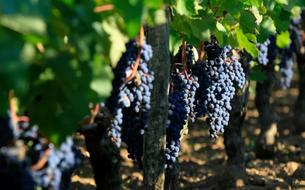 En Île-de-France, la résurrection de la filière viticole est en marche