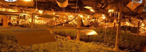 Saisie record à Roubaix de 8 000 pieds de cannabis en plantation à l'intérieur