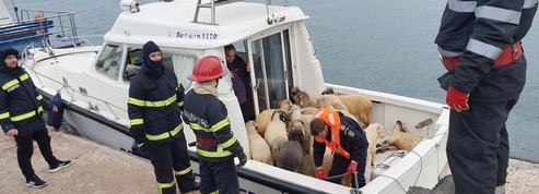 Naufrage d'un cargo en Roumanie : seuls 75 moutons sauvés sur les 14.600 présents à bord