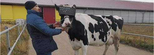 En Russie, des vaches équipées de casques de réalité virtuelle pour booster leur productivité