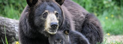 Chine : parmi les remèdes proposés contre le coronavirus... un produit à base de bile d'ours