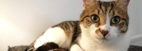 Coronavirus : un chat infecté en Belgique, une première