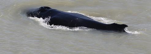 Australie : des baleines à bosses se perdent dans une rivière infestée de crocodiles