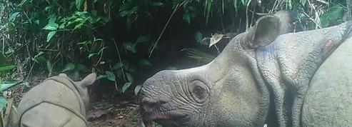 Deux bébés rhinocéros de Java, espèce en voie d'extinction, repérés dans un parc indonésien