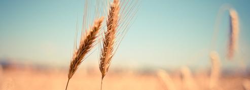 L'Argentine devient le premier pays à autoriser la commercialisation de blé OGM
