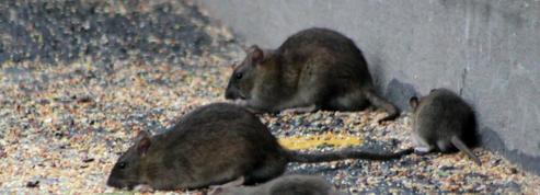 Après l'effondrement d'un trottoir, un New-Yorkais tombe dans un trou rempli de rats