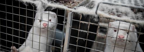 La justice administrative annule une autorisation d'agrandissement d'un élevage de vison