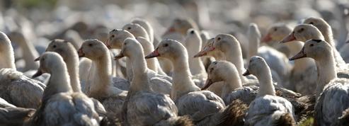 Grippe aviaire : la chasse suspendue dans le sud de la Manche