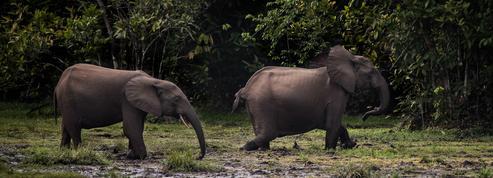 Les éléphants des forêts d'Afrique menacés d'extinction