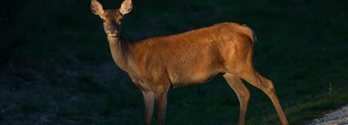 Orange : une biche traquée par des chasseurs jusqu'à une agence Pôle Emploi