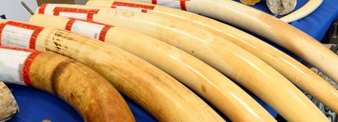 Dans le Nord, saisie de 40 objets en ivoire non déclarés et destinés aux enchères