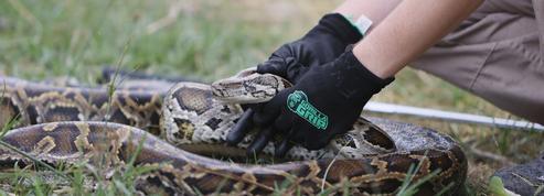 Quarante-quatre pythons, des iguanes et des œufs de reptiles saisis dans le Finistère