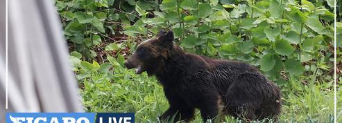 Un ours abattu après s'être déchaîné dans une ville japonaise