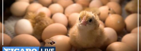 Le ministre de l'Agriculture annonce la fin du broyage des poussins mâles