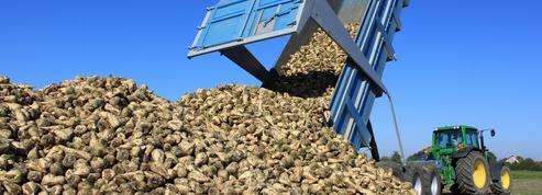 Des parcelles de betteraves détruites pour cause d'herbicide non conforme