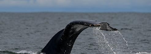 Washington annonce de nouvelles restrictions pour lutter contre la disparition des baleines