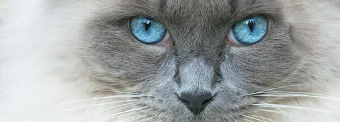 5 races de chats aux yeux bleus