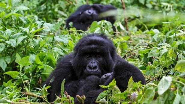Des gorilles de montagne au sein du parc national Mgahinga, dans le district de Kisoro, au sud-ouest de l'Ouganda.
