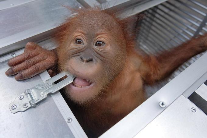 L'orang-outan va bien.