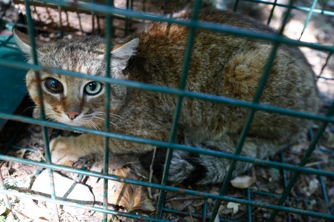 Le chat-renard capturé pour être étudié à Asco.