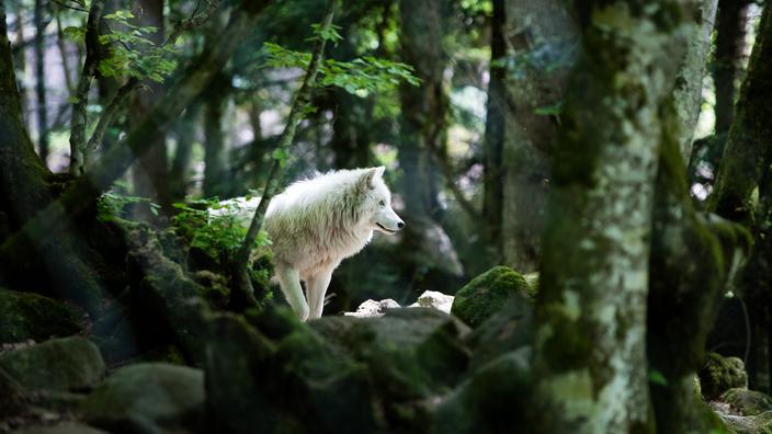 Pyrénées-Orientales : l'un des deux loups en fuite d'un parc animalier retrouvé mort - Le Figaro