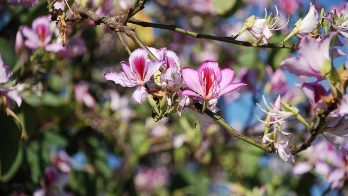 Arbre aux orchidées : à planter en pleine terre et au soleil