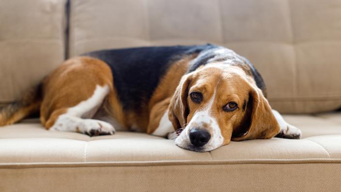 Beagle : origine, taille et caractère