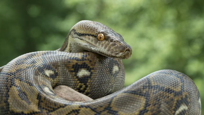 Antilles : démantèlement d'un trafic de reptiles