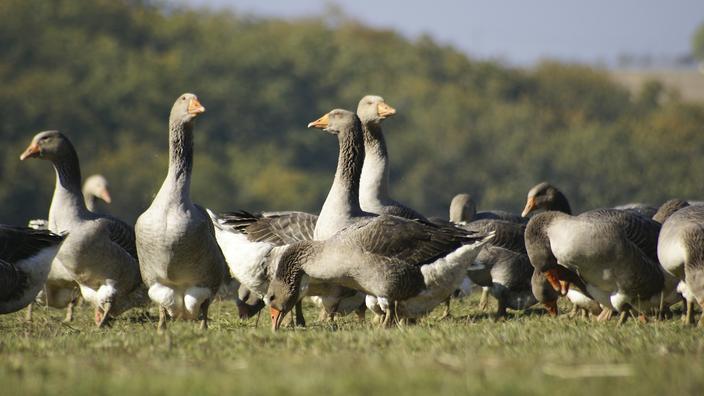 «On est sur le qui-vive»: le retour de la grippe aviaire inquiète la filière avicole