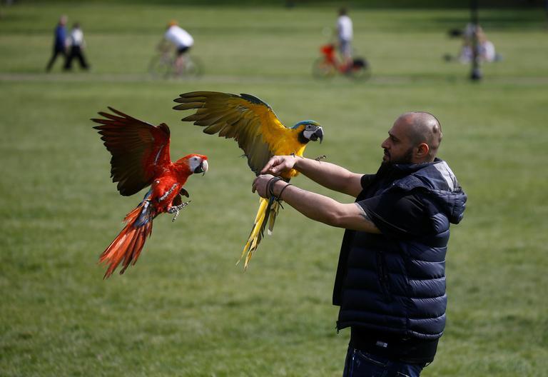 Un homme avec des perroquets au parc Primrose Hill, à Londres