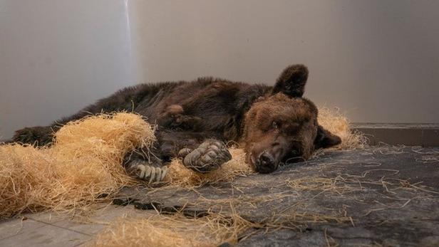 L'ours Mischa est décédé d'un arrêt cardiaque
