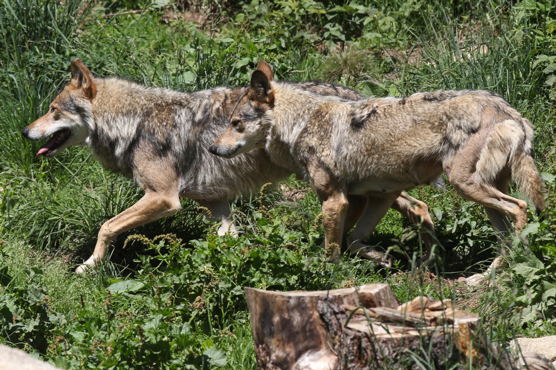 Loups échappés des Deux-Sèvres : tirs létaux autorisés dans un cas, après des prédations
