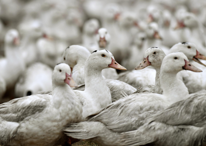 Un deuxième élevage de canards contaminé par la grippe aviaire