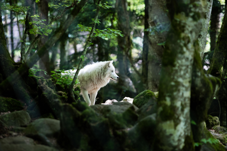 Pyrénées-Orientales : l'un des deux loups en fuite d'un parc animalier retrouvé mort