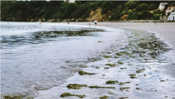 En Bretagne, une «prolifération très importante» d'algues vertes en 2021