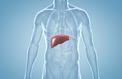 Comment le foie régule la glycémie