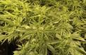 Vers une autorisation du cannabis à usage médical