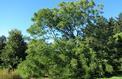 Chicot du Canada, des feuilles gigantesques