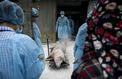 Peste porcine en Chine: au fait, de quoi parle-t-on et quels sont les risques?