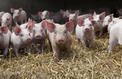 La recette de Cooperl pour profiter de la peste porcine