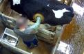 Vidéo choc de l'association L214: qu'est-ce qu'une «vache à hublot»?