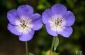 Géranium vivace, à ne pas confondre avec les pélargoniums