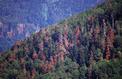 La forêt des Vosges ne veut pas disparaître