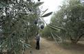 Sécheresse: près de Nice, le coup de chaud des oliviers