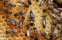 The World Bee Project vole aux secours des abeilles avec Oracle