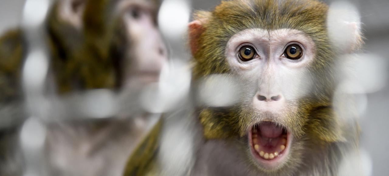 Des singes au cerveau génétiquement modifié pour les rendre plus humains