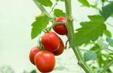 La tomate reine de l'été
